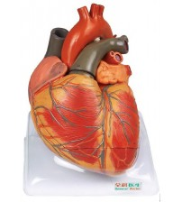 ADVANCED ANATOMICAL MODEL OF HUMAN HEART (SOFT)