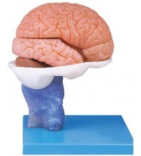 ADVANCED MODEL OF HUMAN BRAIN - 15 PARTS (SOFT)