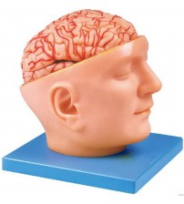 ADVANCE MODEL OF HUMAN HEAD WITH BRAIN & ARTERIES (SOFT)