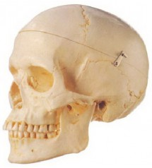 MODEL OF ADULT SKULL LIFE-SIZE