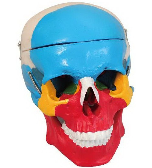MODEL OF ADULT SKULL LIFE-SIZE COLORED BONES