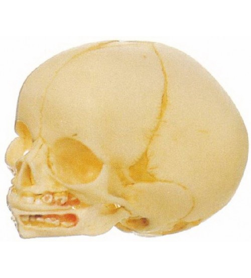 MODEL OF LIFE-SIZE FETAL SKULL
