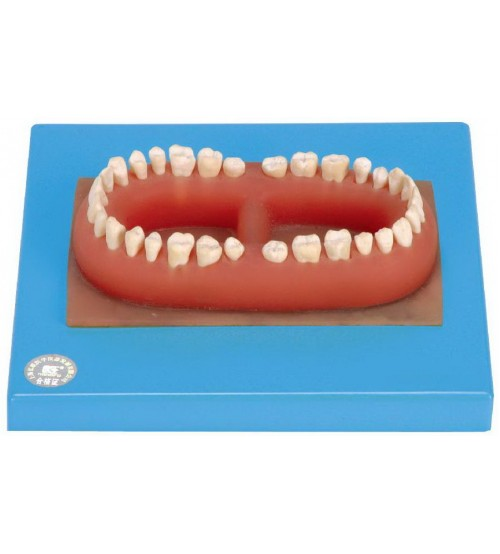 SET OF ADULT 32 TEETHS (SOFT)