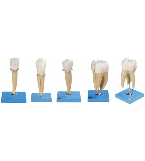 TEETH MODEL (SET OF 5)