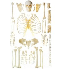 HUMAN SKELETON (DIS-ARTICULATED) LIFE-SIZE 170CMS TALL