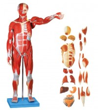 MALE MUSCLE FIGURE WITH INTERNAL ORGANS (HARD)