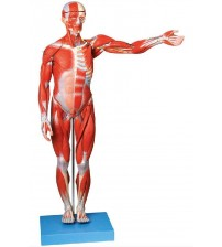 MALE MUSCLE FIGURE 2 PARTS (HARD)