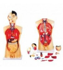 MODEL OF HUMAN TORSO MALE 85CMS WITH HARD ORGANS (18 PARTS)