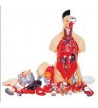 MODEL OF HUMAN TORSO FEMALE 85CMS WITH HARD ORGANS (19 PARTS)
