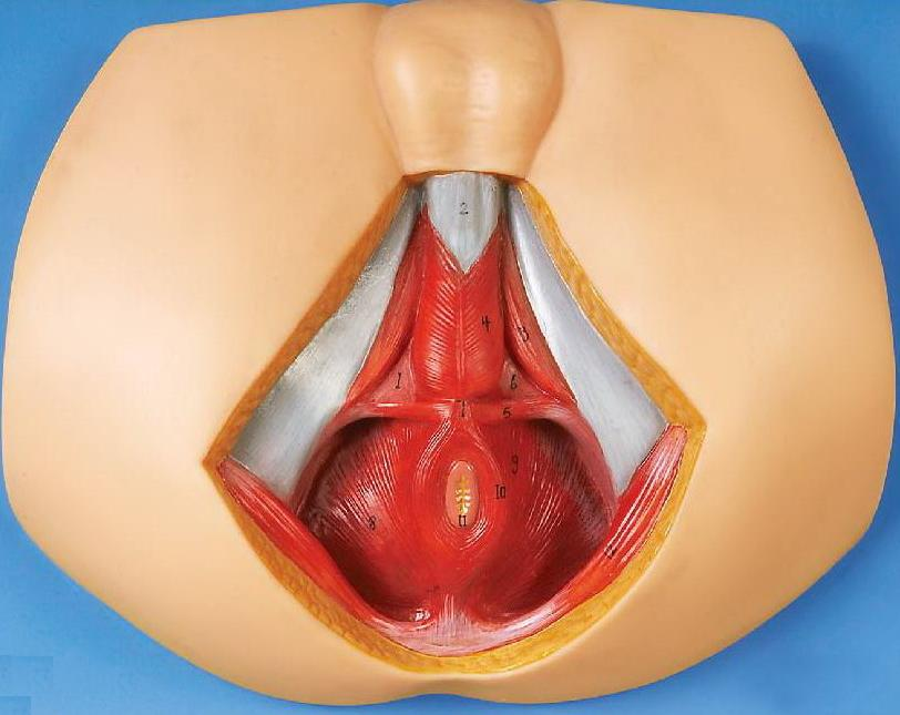 Female Perineum Anatomy Soft